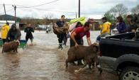 Bomberos rescataron a personas y animales afectados por la crecida. Foto: Unicom