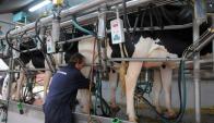 Caerá más la cantidad de vacas en producción y se elevará el litraje por vaca ordeñada. Foto. A. Colmegna