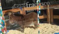 Un pony era exhibido en una vidriera de Buenos Aires. Foto: @buenosairesdif.