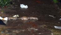 El aumento de los residuos comestibles impulsa la reproducción de roedores. Foto: Archivo El País