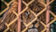 El león de San Carlos tiene autorizado su traslado a EE.UU. Foto: Animales Sin Hogar
