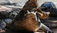 Una turista francesa fue mordida por un cocodrilo en Tailandia. Foto: AFP.