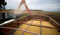 Las lluvias afectaron los rendimientos de la oleaginosa. Foto: Reuters