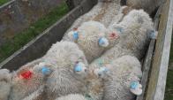 Los corderos del compartimento ovino tienen trazabilidad individual. Foto: JBM