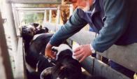 Cuidar la cadena de frío de las dosis y no vacunar ganado cansado con claves del éxito