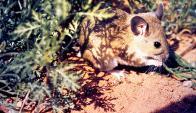 El hantavirus es transmitido por roedores. Foto: PIXNIO