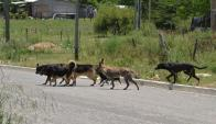Criadores de ganado denuncian permanentes ataques de perros. Foto: V. Rodríguez