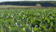 Cultivo de soja en Soriano. Foto: Daniel Rojas
