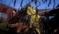 Soja: dentro de los cultivos de verano continúa siendo el principal . Foto: AFP