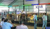 En Don Tito: los 4.000 terneros vendidos a US$ 322 de promedio. Foto: José Pedro de los Reyes