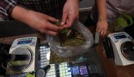 El 2 de mayo se inicia el registro de compradores de marihuana. Foto: AFP