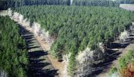 Forestadas: tierras que vende Harvard y antes Weyerhaeuser. Foto: Archivo