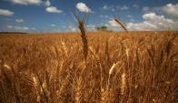 Trigo: estiman cayó 30% del área por baja de calidad y precios. Foto: AFP