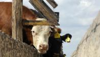 Feedlot: la cuota 481 obligó a generar más calidad de ganado. Foto: AFP