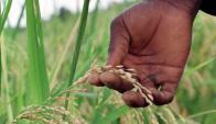 El productor de las ventas de arroz a Venezuela a lo largo de este año es equivalente a todo lo que Uruguay exportó con destino al país caribeño. Foto: AFP.