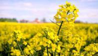 Oleaginosa: tiene un valor parecido a la soja. Foto: archivo El País
