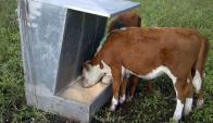 Terneros: uso de comedores de auto consumo es más adoptado por ganaderos. Foto: UPIC