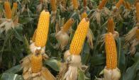 Productores argentinos colocan en el exterior el grano a un ritmo importante. Foto: A. Colmegna