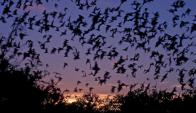 En Uruguay buscan incorporar murciélago. Foto: Picassaweb.