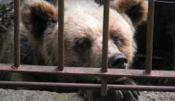 El animal será trasladado a un santuario de Estados Unidos por decisión el intendente. Foto: Luis Pérez.
