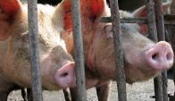 Carne vacuna, cerdo y frutas favorecerían a la UE. Foto: AFP