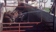 Los productores se quejan por los bajos precios actuales del ganado gordo.