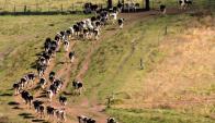 En principio ordeñará 1200 vacas y se instalará una industria láctea. Foto: Conaprole