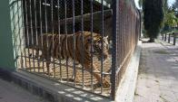 Uno de los tigres de Villa Dolores ya recibió autorización para viajar. Foto: Archivo