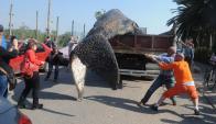 Siete toneladas pesaba el cetáceo que fue encontrado en el Puerto del Buceo. Foto: F. Flores