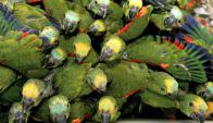 Pajareras enormes con variedad de aves de contrabando. Foto: AFP