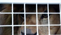 Envían a Sudáfrica a 33 leones rescatados de circos de Perú y Bolivia. Foto: Reuters.