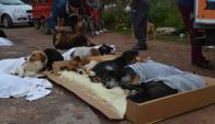 La proliferación de perros aumenta el riesgo de transmisión de hidatidosis. Foto: D. Rojas
