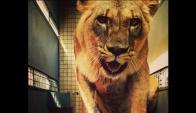 En 2014, los leones viajaron a EE.UU. en jaulas especialmente diseñadas. Foto: Animales Sin Hogar