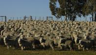 Las ovejas de cría están destetadas y en buen estado. Foto: A. Colmegna