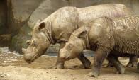 La caza furtiva y la industrialización fueron diezmando al rinoceronte de Sumatra.