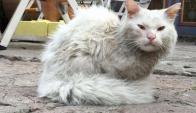 Kunkush, el gato que viajó de Irak a Noruega. Foto: Captura The Guardian.