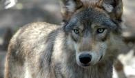 Perro lobo. Foto: Archivo / Agencia