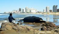 Operativo para enterrar la ballena muerta en Maldonado. Foto: Ricardo Figueredo