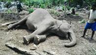 Elefante asesinado con veneno. Foto: AFP