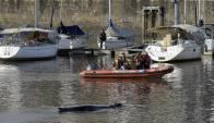 La ballena apareció en el Yacht Club de Puerto Madero. Foto: AFP.