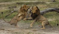 Jericho y Cecil, jugando en el Parque nacional de Hwange. Foto: Splash News