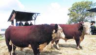 El toro de Bonomi Hnos., se comercializó a US$ 9.000 el máximo del remate. Foto: P. Mestre