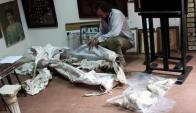 Paysandú: restos de un gliptodonte fueron encontrados y trasladados a un museo. Foto: El Telégrafo.
