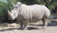 Rinoceronte blanco. Foto: Wikipedia