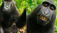 Selfie de mono. Foto: Wikipedia