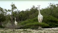 Las jirafas blancas de Kenia. Foto: captura de pantalla