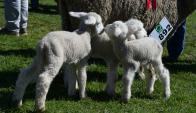 Los visitantes de la Expo Prado pueden ver como las ovejas hacen el trabajo de parto. Foto: A. Colmegna