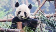 """""""Cuando los humanos entran, los pandas salen"""", dijo el experto de un grupo ecologista. Foto. EFE"""