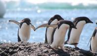 Pingüinos adelaida. Foto: Wikipedia