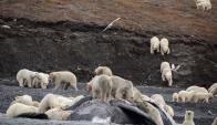 Osos polares en Wrangel. Foto: AFP